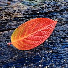 Leaf Hydrangea paniculata in autumn - Thanksgiving